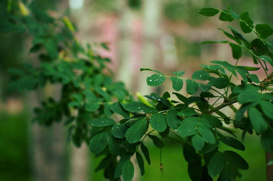 moringa nutrients uses benefits